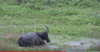 Die Philippinen im Video - Der glückliche Wasserbüffel auf der Wiese im Regen