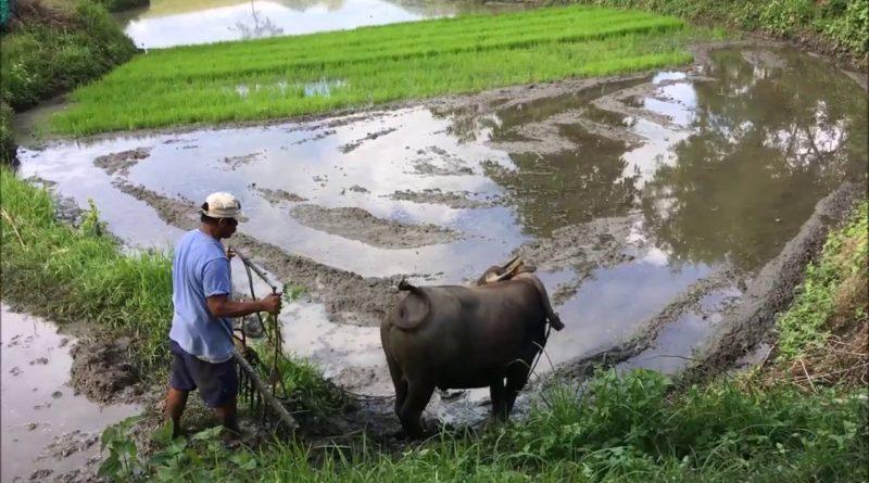 Die Philippinen im Video - Eggen mit dem Carabao (Wasserbüffel)