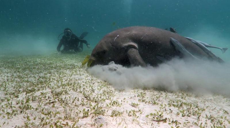 Die Philippinen im Video - Tauchen mit den Seekühen (Dugong) in der Nähe von Coron