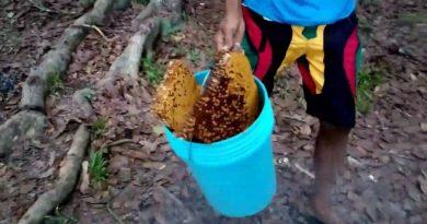 Die Philippinen im Video - Honig sammeln von wilden Bienen
