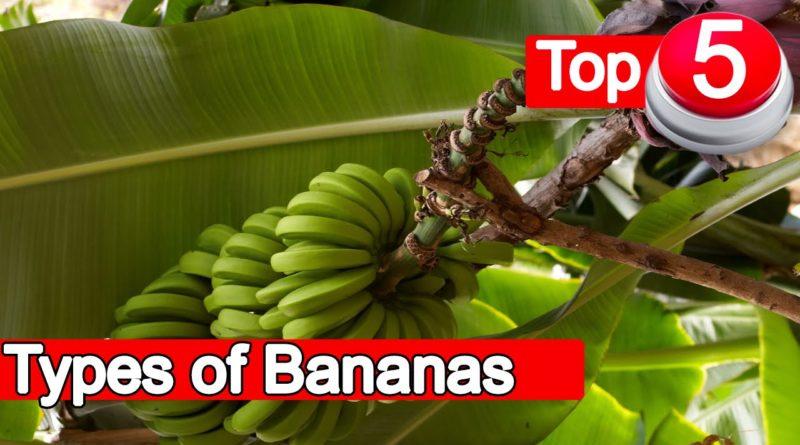 Die Philippinen im Video - Die Top 5 Bananensorten