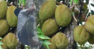 Die Philippinen im Video - Eine Durian vom Baum holen