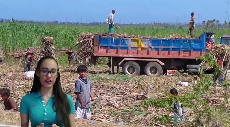 Die Philippinen im Video - Zuckerrohr in den Philippinen