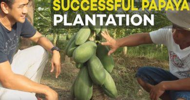 Die Philippinen im Video - Erfolgreiche Papaya-Anpflanzung