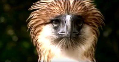 Die Philippinen im Video - Der Philippinen Adler