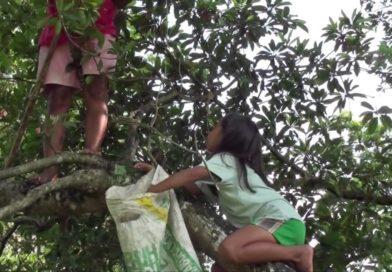 Die Philippinen im Video - Ernte von Chico Früchten