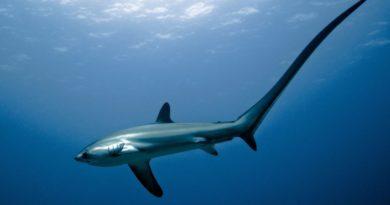 Die Philippinen im Video - Philippinen Thresher Sharks - Fuchshaie