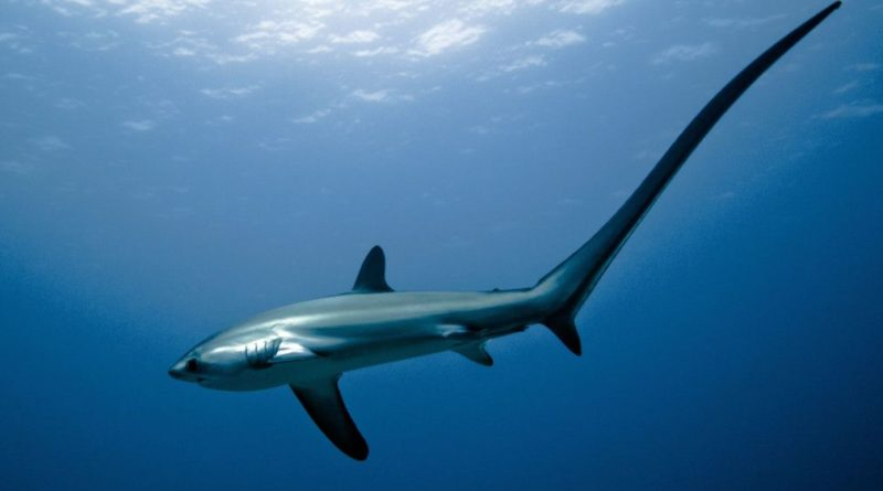 Die Philippinen im Video - Philippinen Thresher Sharks - Fuchshaie