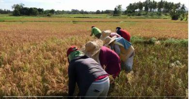 Die Philippinen im Video - Cora und Mike bei der Reisernernte