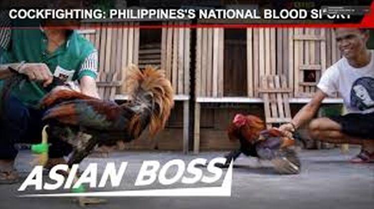 Die Philippinen im Video - Hahnenkampf - Der Blutsport der Philippinen