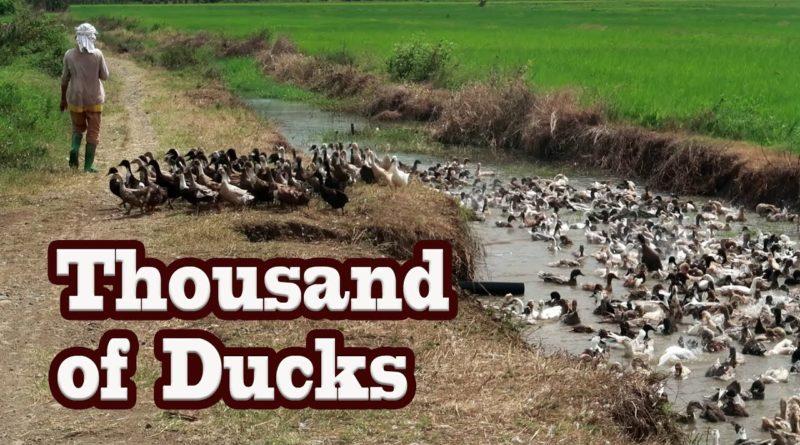 Die Philippinen im Video - Tausende Enten gehen baden