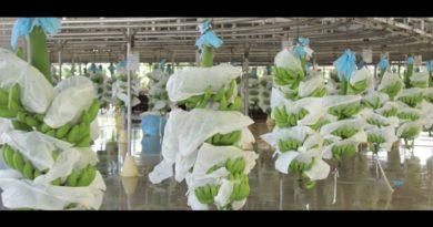 PHILIPPINEN MAGAZIN - Cavendish Bananen von Mindanao in die Welt