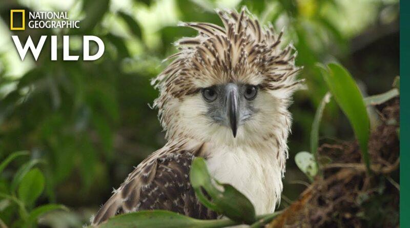 Die Philippinen im Video - Junges Philippinen-Adler Küken wächst auf