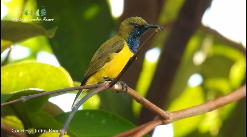 Die Philippinen im Video - Vogelbeobachtungen in Malagos Garden Davao