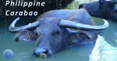 Die Philippinen im Video - Philippinischer Carabao oder Kalabaw